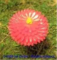Wachsblume rot groß